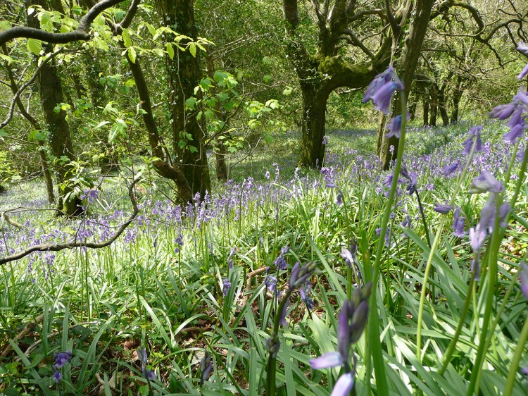 Bluebells in the woods Tintagel Cornwall