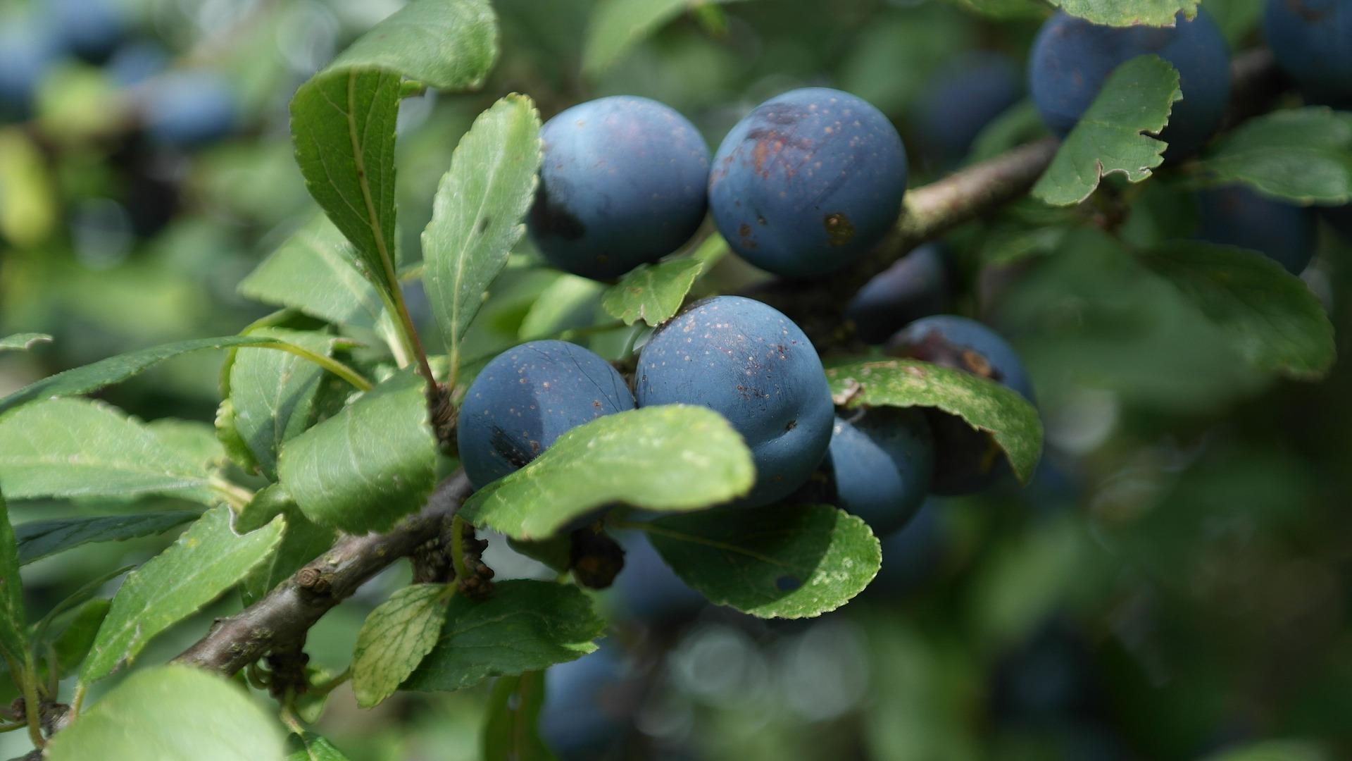 sloes-427420_1920